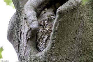 Tawny owl getting very sleepy