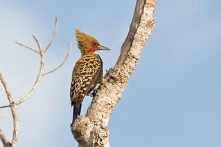 Ochre-backed Woodpecker (Celeus ochraceus) - male