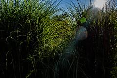 grasses-1_MaxHDr_Dehaze (old_hippy1948) Tags: grass bokeh
