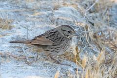 Lincoln's Sparrow (Becky Matsubara) Tags: avian bird birds california ebrpd eastbayregionalparks nature outdoors pointpinole pointpinoleregionalshoreline ptpinole sparrow wildlife ebparksok lincolnssparrow melospizalincolnii bruantdelincoln