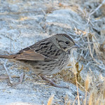 Lincoln's Sparrow thumbnail