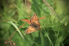 duo de papillons (bulbocode909) Tags: valais suisse valdentremont vallondevalsorey papillons nature montagnes feuilles herbes vert orange