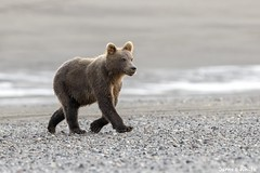 Brown bear cub (Jims Wildlife) Tags: ursusarctos brownbear alaska