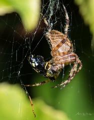 365-2018-253 - Garden spider at lunch (adriandwalmsley) Tags: flinthouse spider