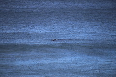 IMG_3612 (gervo1865_2 - LJ Gervasoni) Tags: surfing with whales lady bay warrnambool victoria 2017 ocean sea water waves coast coastal marine wildlife sealife blue photographerljgervasoni