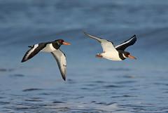 Oystercatchers (La_Wildlife) Tags: bird birds nature wildlife shorebird wader coast beach flying inflight canon