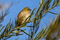 Silvereye Surprise (Xenedis) Tags: australia bird newsouthwales nsw silvereye sydney wildlife zosteropslateralis
