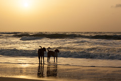Dogs, Down by the Sea, Senegal (Geraint Rowland Photography) Tags: dogs canine dog dogsofinstagram nature shadows silhouettes sunsets sunsetsofsenegal canon travelphotogrpahy africanphotographers photogrpahyblogs takingsunsetphotos takingsilhouettephotos sand shore tide surf surfinginsenegal wwwgeraintrowlandcouk geraintrowlandphotography downbythesea lompoul senegal westafrica