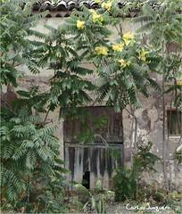 la puerta y la acacia en flor (carlosjunquero) Tags: acacia árbol puerta