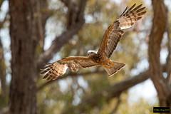 Square-tailed Kite (Lophoictinia isura) (Dave 2x) Tags: lophoictiniaisura lophoictinia isura squaretailedkite squaretailed kite inflight scheyvillenationalpark nsw australia leastconcern