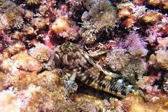chaparrudo (jjulio2311) Tags: fish gobio pez macro playa españa spain red pinck water sea underwater beach blenny