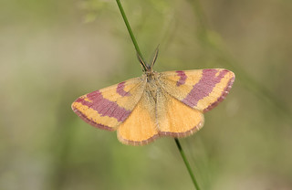 Purple-barred Yellow (Lythria cruentaria).