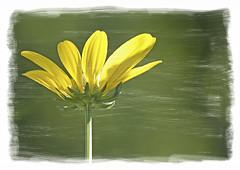 Artistic - Nature - Flowers - Coneflower - Echinacea. (Bill E2011) Tags: nature macro flowers coneflower echinacea canon photoshop art artistic