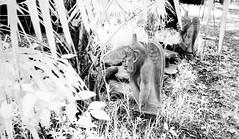 Go-Devils (IR) (Neal3K) Tags: ir infraredcamera kolarivisionmodifiedcamera henrycountyga georgia bw blackandwhite godevil gargoyle