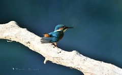 Martin Pêcheur (MalcedoP) Tags: loire alcedoatthis animal nature nièvre kingfisher