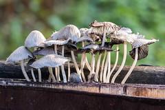 Fairy Inkcaps (Helmuth of Boskone) Tags: august draycotewater warwickshire reservoir summer rugby england unitedkingdom gb mushrooms toadstools fairyinkcaps coprinellusdisseminatus closeup fungi