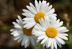 ♫ 'Give me your answer, do ... ' ♪ (Canadapt) Tags: nature flowers daisy flower three trio water drops keefer canadapt