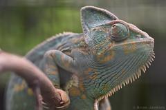 Veiled Chameleon (Bri_J) Tags: tropicalbutterflyhouse northanston southyorkshire uk yorkshire butterflyhouse nikon d7200 veiledchameleon chameleon chamaeleocalyptratus