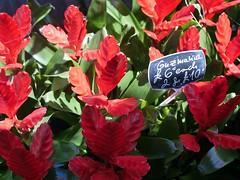 Guzmania sp. (the justified sinner) Tags: justifiedsinner guzmania bromeliad flower plant florist brighton panasonic minolta rokkorx 45 2 md gx7 eastsussex