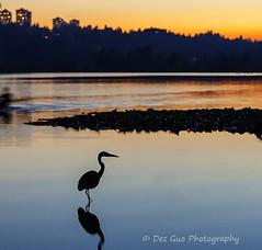 Great Blue Heron Fishing after Sunset, Deer Lake, Burnaby BC (PhotoDG) Tags: water heron greatblueheron bird color sunset reflection blueheron ef70200mmf4lisusm deerlake burnaby metrovancouver