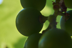 Grapes (Michal Zawolek) Tags: poland polen polska macro makro closeup close up nature green greenery village country countryside peace peaceful peacefully efflorescence bloom blooming blossom blossoming grape grapes