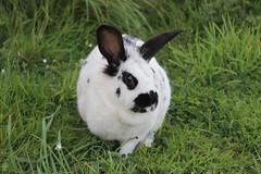 Anglų lietuvių žodynas. Žodis rabbits reiškia triušiai lietuviškai.