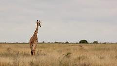 Africaah! (Nagarjun) Tags: maasaigiraffe nairobinationalpark kenya wildlife