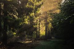 forest series #112 (Stefan A. Schmidt) Tags: golden sunbeam tree trees forest pentaxart germany deutschland