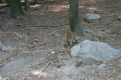 IMG_8704 (harleyhurricane1) Tags: affenbergsalem monkeys feedmonkeyspopcorn handfeedmonkeys badenwurttemberg germany barbarymacaques deer ducks storks swans
