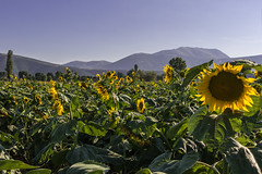 Sunflower field in Ptolemaida, Greece (Adrià Páez) Tags: landscape sunflowers flowers mountains field agriculture sky ptolemaida country countryside western macedonia eordaia balkans greece ellada europe makedonia