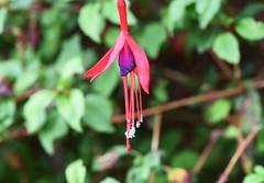 DSC_1554 Fuchsia (PeaTJay) Tags: nikond750 sigma reading lowerearley berkshire macro micro closeups gardens outdoors nature flora fauna plants flowers fuchsia