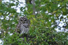 In My Back Yard . . . A Barred (Hoot) Owl (J Price - Alabama) Tags: hootowl barredowl owl raptor hungry
