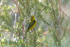 Wilson's Warbler (8907) (Bob Walker (NM)) Tags: bird perching warbler wilsonswarbler cardellinapusilla wiwa weeds losalamos newmexico usa