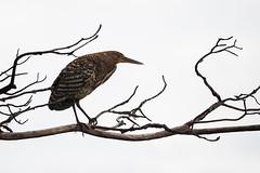 Rufescent Tiger-Heron (Tigrisoma lineatum) (Sergey Pisarevskiy) Tags: rufescenttigerheron tigrisomalineatum bolivia southamerica birds birdwatching wildnature wildlife
