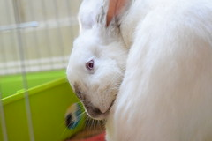 Grooming Lady (Emese's Dolls) Tags: bunny rabbit himalayan white grooming cute albino photo