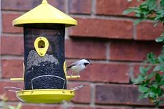Chickadee Lunch (Gene Ellison) Tags: wild bird carolinachickadee seed feeder lunch wall brick shrubs