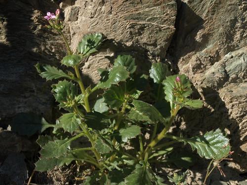 holly gilia, Aliciella latifolia subsp. latifolia