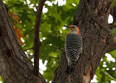 Red Bellied Woodpecker_50 (Scott_Knight) Tags: minnesota canon knight woodpecker nature wildlife bark