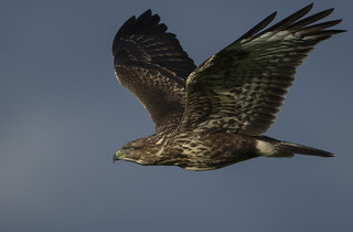 Buzzard - Everything impressive., then you read about his 'prefered diet'