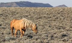 Old Gold (chad.hanson) Tags: mustangs wildlife wyoming wildhorses stewartcreekhma