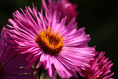 Aster (gripspix (OFF)) Tags: 20180913 natur nature plant pflanze flower blume blüte blossom bloom herbstaster aster mygarden macro makro