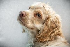 Adoring Sun (helenehoffman) Tags: dog puppy cockerspaniel animal coth5
