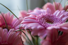 Dangerous colour - pink (AnzhN) Tags: blooming flower petal blossal floral botanical macro closeup hydrangea flowers plant flora garden green bloom beautiful natural availablelight canon eos450d carlzeiss legacylens