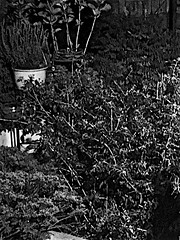 My Garden early morning  Monochrome (brianarchie65) Tags: garden flowers rose roses plants leaves pots monochrome blackandwhite blackandwhitephotos blackandwhitephoto blackandwhitephotography yorkshireblackandwhite blackwhite123 blackwhiterealms ngc unlimitedphotos yorkshirecameraramblers flickrunofficial flickr flickruk flickrcentral flickrinternational ukflickr iphonese brianarchie65 geotagged