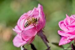 Bee (JSB PHOTOGRAPHS) Tags: jsb5447 bokehlicious eugeneoregon owenmemorialrosegarden bee bokeh pinkrose nikon d600 60mm 28