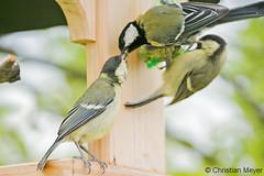 2016.05.16 - 5229 - Mésanges charbonnières Bois Bas © (chmeyer51) Tags: oiseau mésangecharbonnière paridae parusmajor