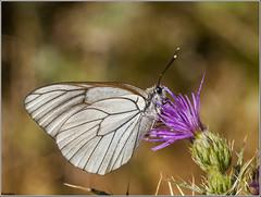 Blanca del Majuelo. (josemph) Tags: olympus e3 sigma 105mm zuico ec14 macro insectos marposas piéridos blancadelmajuelo aporiacrataegi butterfly blackveined white
