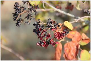 Wollige Schneeball (Viburnum lantana)