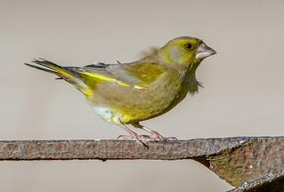 JWL3940  Greenfinch..