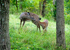 motherly love (Dave_Bradley) Tags: deer wildlife outdoor nature whitetail forest trees grass pennsylvania usa olympus em5 mirrorless